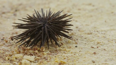 Slate-pencil urchin - sea urchin on sand