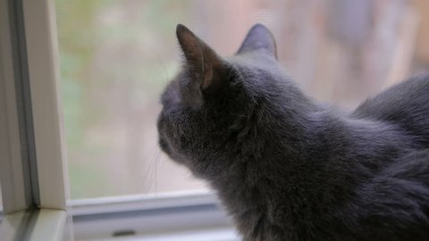 Cat of the breed Russian blue at the window