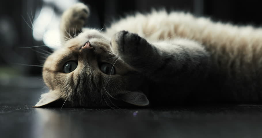 British cat lying on the floor on his back, trying to sleep. happy cat