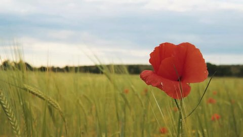 Red poppy flower and a man staring at the horizon