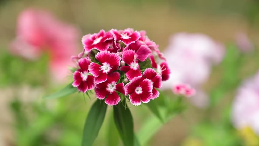 Stock video of verbena trailing perennial red pink white hd0021verbena hybrids trailing perennial red pink white flowers with a blurred background high definitionie clip stock footage mightylinksfo