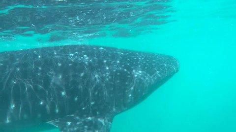 whaleshark swimming by