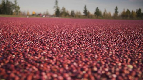Panning shot of a flooded cranberry field getting ready for processing.