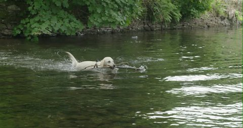 White dog playing with a stick in the river   4K