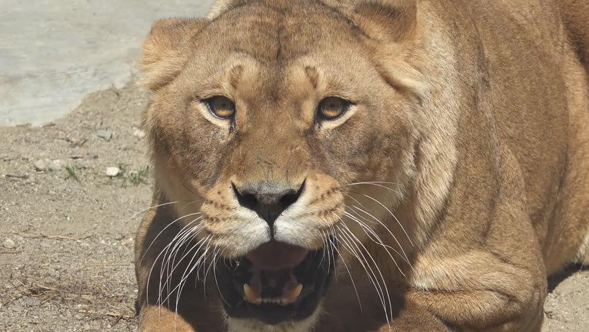 Portrait of aggressive lioness attacking