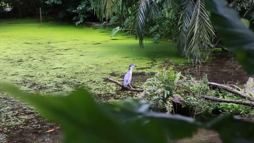 Yellow-crowned night heron | Shutterstock HD Video #1013803364