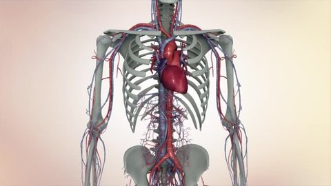 3D animated human skeleton Lymphatic, heart, circulatory system