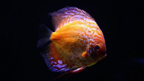 Exotic tropical discus fish in aquarium.