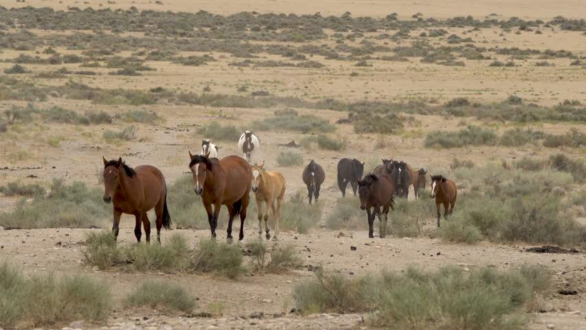 Utah wild horses walking through the West Desert on hot summer day across dry vast landscape.