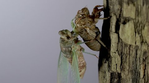 New start and rebirth concept of newly molted cicada hanging onto its nymph exoskeleton. Close up after the metamorphosis process. Cicada insect macro view with white background.