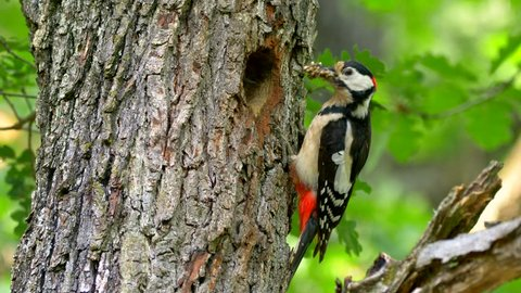 Great spotted woodpecker (Dendrocopos major) feeding baby