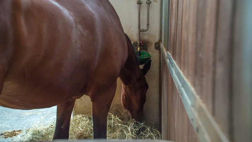 A gorgeous brown horse is eating forage in his shelter and doesn't mind about anything else.