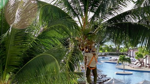 Man cutting and pruning a coconut palm tree in a tropical country. Large palm tree being maintained by a man on a ladder using a machete. Tropical palm tree.