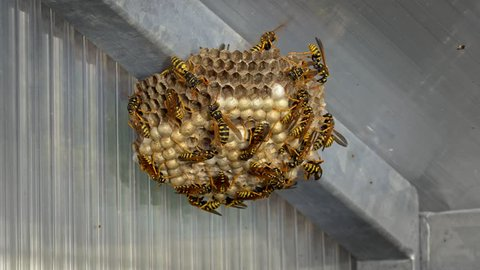 Paper wasp Polistes nimpha on nest