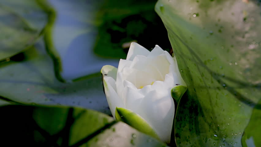 Close up of white lotus flower ready to blossom. Lily pad and bloom floating on the surface of a pond. Personal wellness and retreat concept.