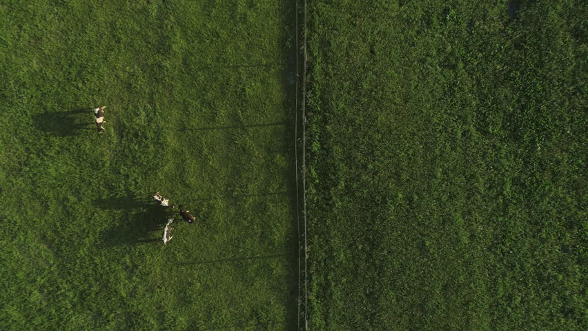 Aerial top down footage over cow farm in green field, Lithuania, Europe. | Shutterstock HD Video #1013945624