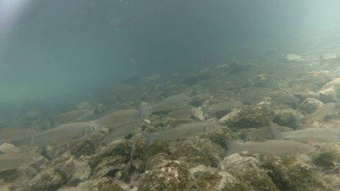 Underwater video from nice river habitat. Swimming close up freshwater fishes Chub. Bohinj, Slovenia