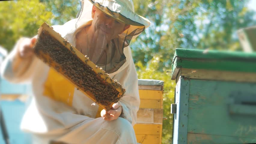 Beekeeper holding a honeycomb full of bees. Beekeeper inspecting honeycomb frame at apiary. Beekeeping concept slow motion video lifestyle. beekeeper holding a honeycomb full of bees. Beekeeper | Shutterstock HD Video #1013967074