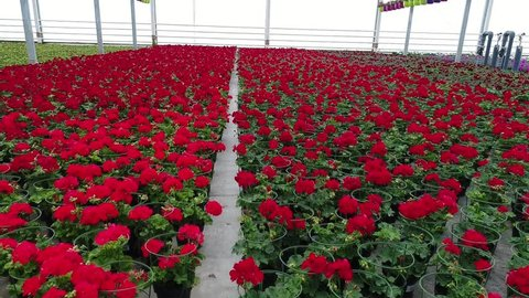 Greenhouse With Blooming Geranium Plats, Red Flowers In A Greenhouse, Flower business, wide angle, cultivation of geranium flowers in flower pots, interior of a flower greenhouse,