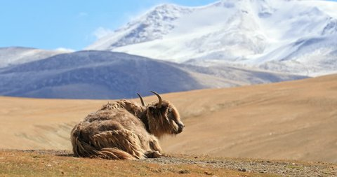 Himalayan yak resting on highland pasture in rural Ladakh. Beautiful nature landscape and scenic panoramic view of hills and mountains in northern India