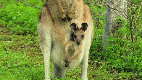 Kangaroos with baby joey in pouch graze in an open field in Australia.