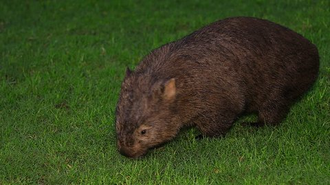 Close up of a wombat walking at night in Australia.
