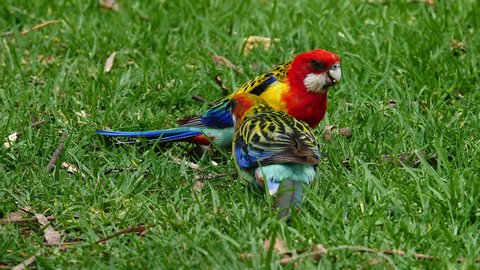 Two eastern rosella parrots forage in the grass in Australia.