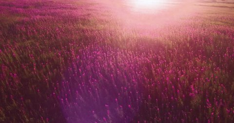a field of willow-herb swaying in the wind at sunset