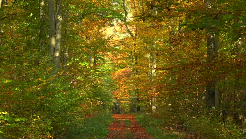 Forest track in autumn beech forest, Freudenburg, Rhineland-Palatinate, Germany, Europe