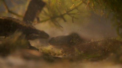 Salamander attacks other salamander under water in Dutch Ditch