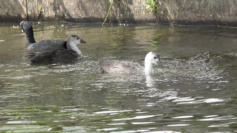 coot and small coot dive after feed