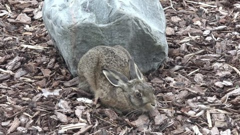 European hare sitting in front of stone in the nature
