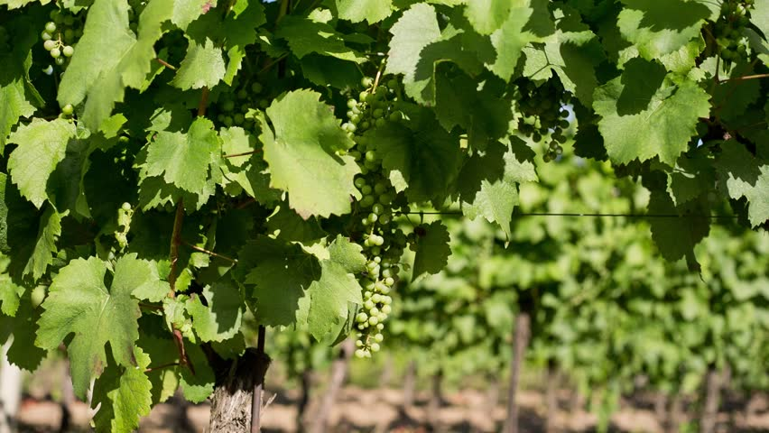 Sunny relaxed summer day in the vineyards. | Shutterstock HD Video #1014117854