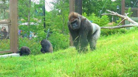 Gorilla eating very happy