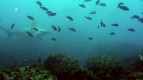 Hammerhead shark in shoal fish underwater lagoon of ocean Galapagos. Bottom view. Amazing life of tropical nature world in blue water. Scuba diving and dangerous extreme tourism.