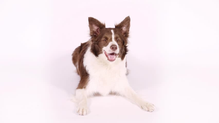 Lovely brown and white color Border Collie dog lying on white background  | Shutterstock HD Video #1014149354