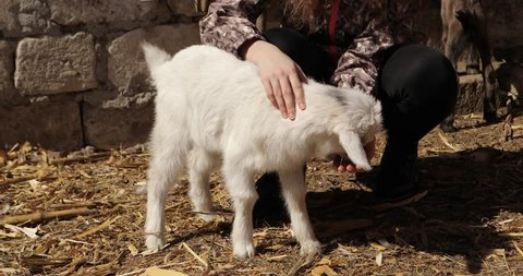 teenager girl dressed in a thick coat and jeans caressing,playing and hugging a little cute baby goat in a big and large coop filmed in the best quality 4k