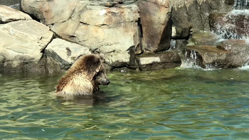 4K HD video of an adolescent grizzly bear, or North American brown bear, swimming in water, then play attacked by another adolescent grizzly bear.