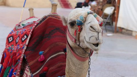 Camel for riding tourists in the old city market at evening in Sharm El Sheikh, South Sinai, Egypt. Close up