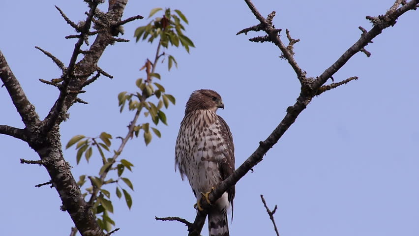 Cooper's Hawk Waiting for Hunting. July 21-2018 Portland OR, USA.