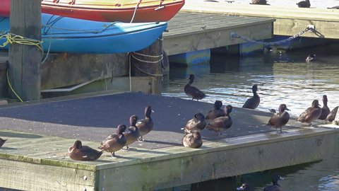 Tufted ducks and a black shag gather on the dock