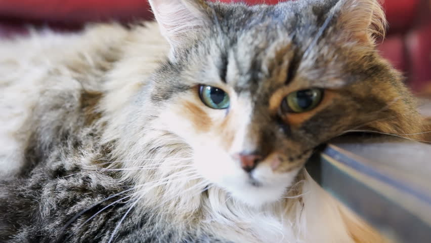 Closeup of sad maine coon calico cat face resting head under on wooden table indoors, big green eyes