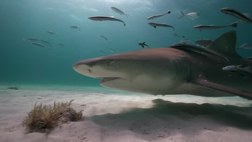 Lemon sharks approach and pass close to the camera in clear blue water in the Bahamas during a shark feeding, shark diving expedition. Shot in 50p for perfect slow motion | Shutterstock HD Video #1014303824