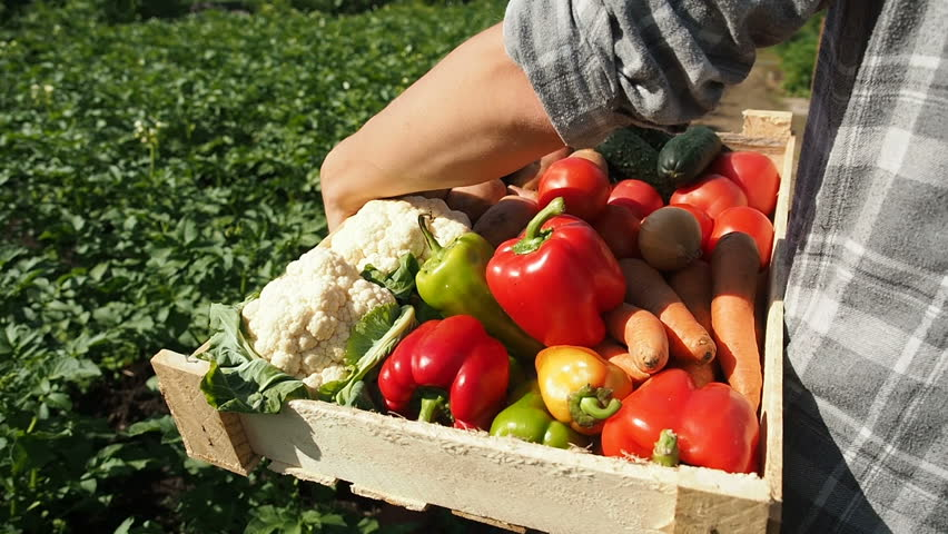 Farmer's Market: Farmer Hands Holding Vegetable Box Full Of Fresh Organic Potato, Carrot, Onion, Pepper, Tomat, Cucumber, Cabbage, Beet. Harvest Agriculture Industry Concept. Organic Farm Food Harvest
