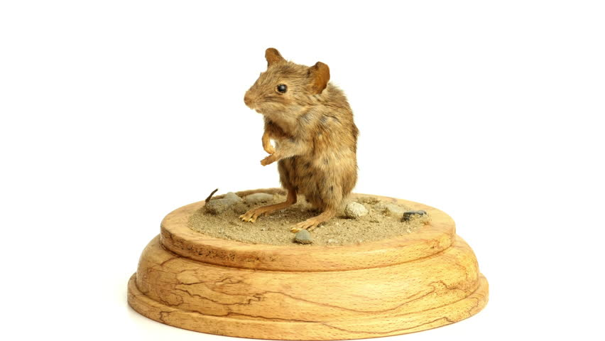 Mouse taxidermy rotating, isolated against white background
