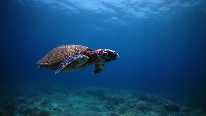 Turtle in mid water swims off towards the surface at Anilao in the Philippines. | Shutterstock HD Video #1014377654