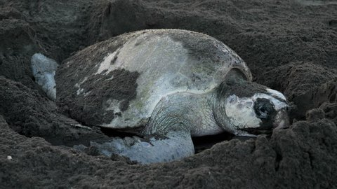 Atlantic ridley sea turtle spawning on a tropical beach. The Kemp's ridley sea turtle is the rarest species of sea turtle and is critically endangered. It is one of two living species.