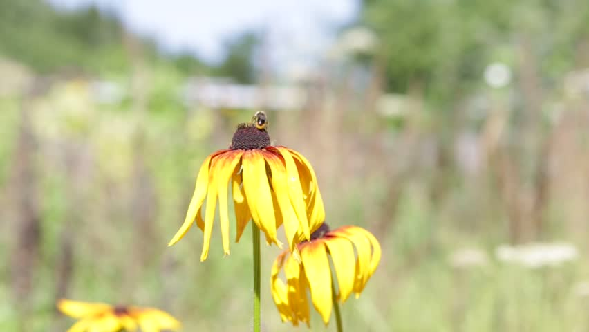 A bee gathers nectar from yellow flowers rudbeckia