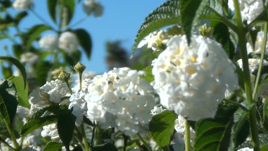 A close-up shot of  white Lantana Camara flowers in the spring.