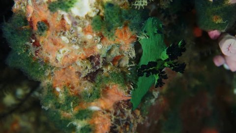Large green nudibranch on coral wall at Anilao in the Philippines.